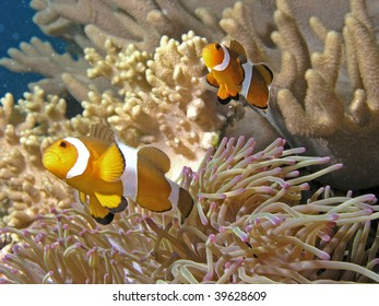 View of clown fishes swimming around a coral plants