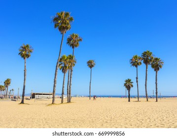 View of a cluster of very tall palm trees on a beach against a clear blue sky and with the Pacific Ocean in the background along the southern Californian coastline at Venice Beach in the USA.