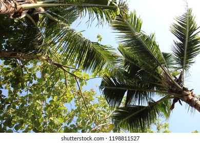 View of coconut trees with teak wood leaves from below, it comes with clear blue sky