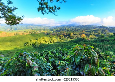 View of a Coffee plantation near Manizales in the Coffee Triangle of Colombia with coffee plants in the foreground.