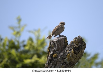 View of a common house sparrow bird on top of tree.