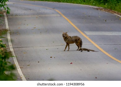 View of a Common Jackal and a Clouded Monitor on the road in the florest