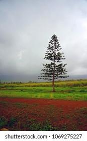 View of a Cook Island Pine on Lanai, an island in Hawaii