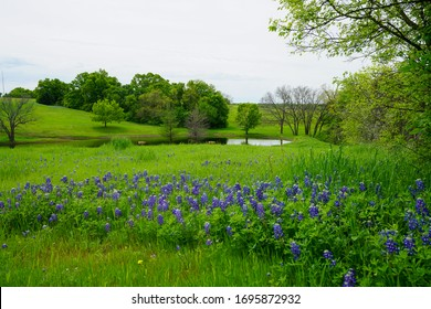 View of countryside with Texas bluebonnet wildflowers in bloom with pond