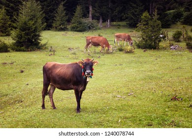 View of cows grazing on grass field with pine tree forest at high plateau. The image is captured in Trabzon/Rize area of Black Sea region located at northeast of Turkey.