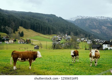 View of Cows on green fields and traditional wooden houses in the background - Gosau Village, Austria.