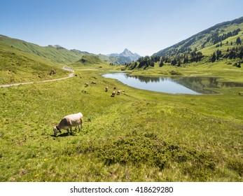 A view of cows standing near by the Kalbelesee lake surrounded by the Alpine mountains near village Schroecken in Bregenzerwald, region Vorarlberg, Austria