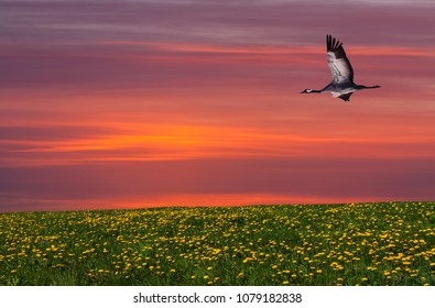 View of a crane in flight in evening lit. Meadows and flowers this side the bird.