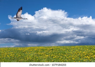 View of a crane in flight in summertime. Bright sunshine., flowers and some shower in the background.