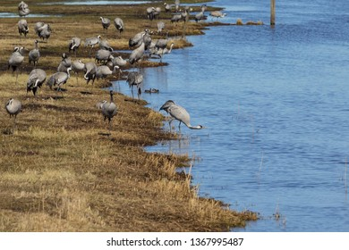 View to the cranes of the Lake Hornborga, Sweden. Lake Hornborga is situated in the middle of a natural and cultural landscape. In the Spring, the cranes return after a winter in Spain or France.