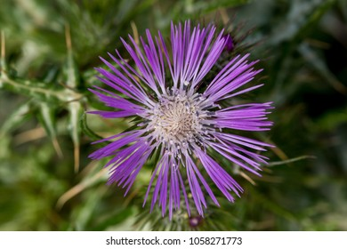 A view of the Cretan thistle, Cirsium creticum, growing in the island's mountains