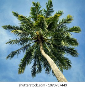 view of the crown of a palm tree from below