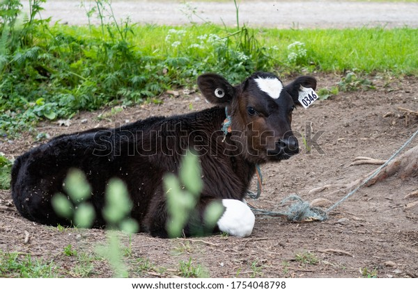 view-cute-baby-cow-lying-600w-1754048798