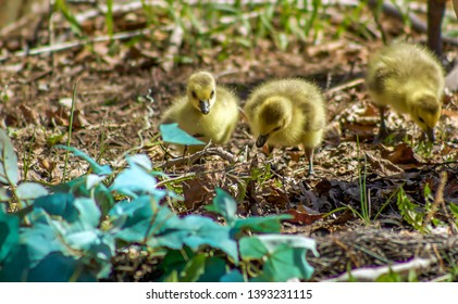 A View Of Cute Little Goslings