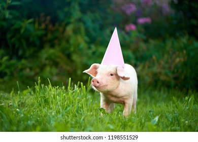View of cute little pink piggy standing in garden on green grass and looking at camera. Pig as symbol of luck and Chinese 2019 new year calendar. Animal wearing pink festive cap with white polka dots