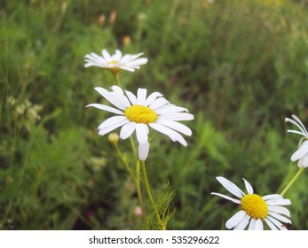 A view of daisies in a lawn