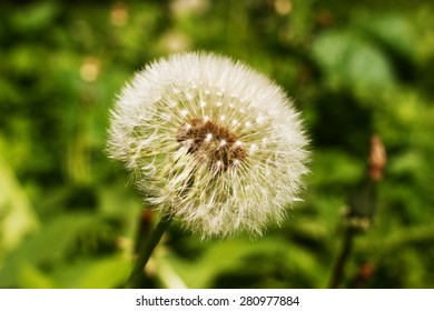 view of dandelion on grass
