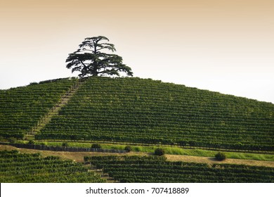 View at dawn on the Cedar of Lebanon, conifer evergreen that stands majestic on the hill full of vineyards in Monfalletto in the hamlet of Annunziata of La Morra