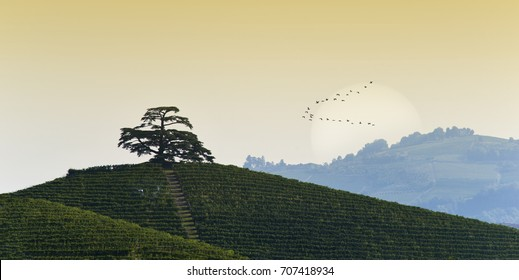 View at dawn on Cedar of Lebanon, conifer evergreen that stands majestic on the hill full of vineyards in Monfalletto in the hamlet of Annunziata of La Morra, on the bottom the sun and migrating birds