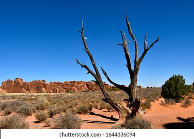 View of a dead juniper tree with red rocks in the back ground