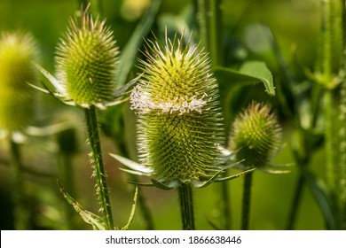 View of dipsacus fullonum wild teasel on the summer field. Photography of lively nature.