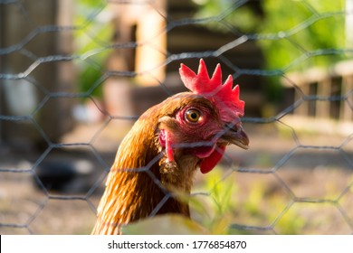 view-domesticated-hen-seen-through-260nw