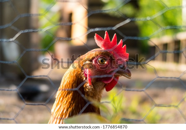 View of a domesticated hen, as seen through a fence, in Quebec