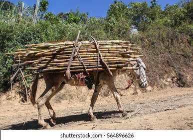 View of a donkey which carries a bundle of sugarcane near the city of Piura, region called Jijili. In the north of Peru, 2011.