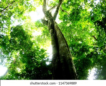 the view from down to top under the green canopy of a fig tree in the tropical forest with some light shine through after the rain