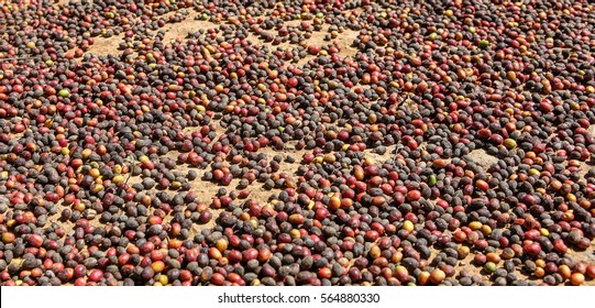View of drying of collected coffee beans near the city of Piura, region called Jijili. In the north of Peru, 2011.