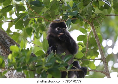View of a dusky leaf monkey, also called trachypithecus obscurus, in Perhentian island Malaysia. The primate is on the branch of a tree. Its eyes are white and circular. Ist fur is dark grey.