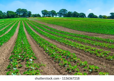 View of English countryside with courgettes plants growing in the field in Middlesex, UK