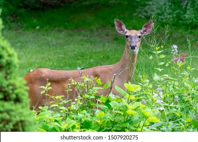 View of face of a white-tailed deer with fly on its face that is looking watchful at the photographer; deer stands behind plants with flowers, its face is in perfect view