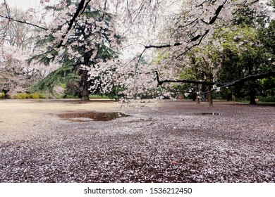 view of a fallen cherry blossom petals piled up along the floor ,beautiful season in Japan. Travel and nature.