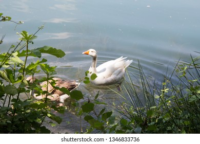 View of a family of ducks in the Lake of Anna in the Valencian Community Spain