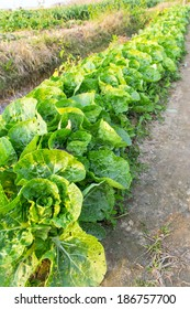 the view of the farm, Brassica campestris  in China