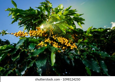 View farm with coffee plantation. Agribusiness. Coffee crop with yellow grains, green foliage and blue sky.