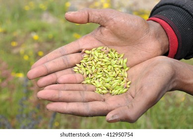 View of farmer hands keeping a heap of wheat seeds.