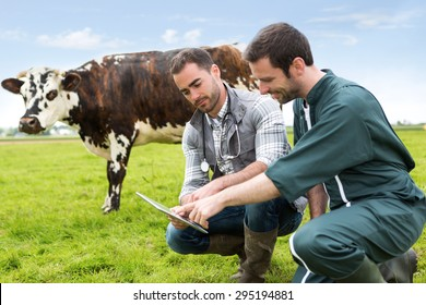 View of a Farmer and veterinary working together in a masture with cows