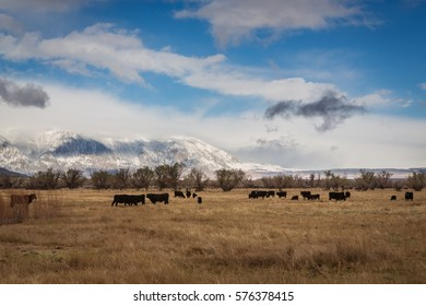 View of a field with cattle near Bishop California in the Owens Valley