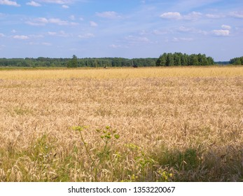 view of the field covered with wheat
