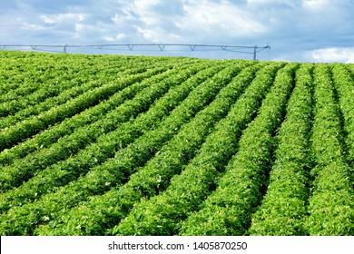 An view of a field of potatoes in the rolling fertile farm fields of Idaho.