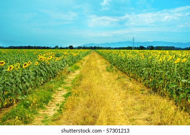 a view of a field of sunflowers