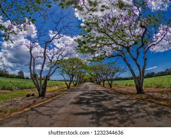 View of flamboyant trees (royal poinciana) and sugarcane fields on the sides of a road to Medine, Mauritius