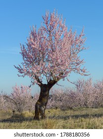 View of the flowering in the almond trees, near the town of Torás, in the province of Castellón. Valencian Community. Spain