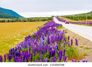 View of flowering lupines along the road in the national park Torres del Paine, Patagonia, Chile. Copy space for text