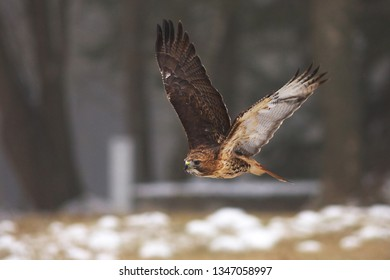 View of a flying red-tailed hawk with a great wingspan above the meadow at a winter time