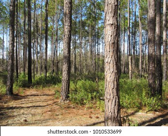 View of a forest in Florida with saw palmettos and pine trees