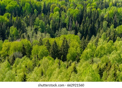 View of forrest of birch and green pine trees on a sunny summer day with a bright blue sky. Captured from above.