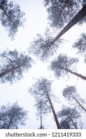 up view in the forrest with pine trees